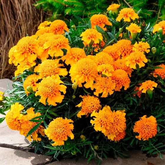 Tagetes Chasca | #2