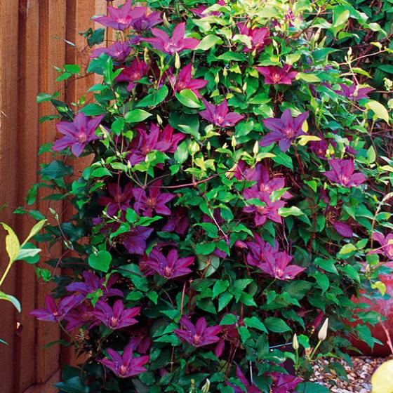 Boulevard®-Clematis Picardy™ | #2