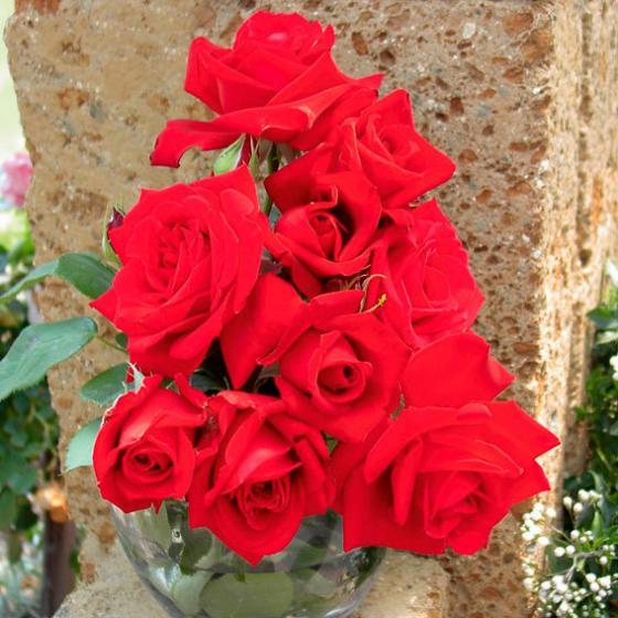 Meister-Rose® Opa Pötschke®, 1 Stück | #2