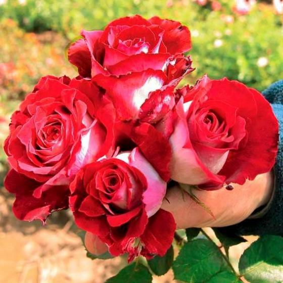 Rose Osiria | #2