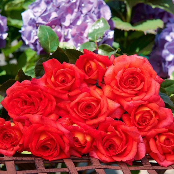 Edelrose Parfum de Grasse®, im ca. 17 cm-Einpflanz-Topf | #2
