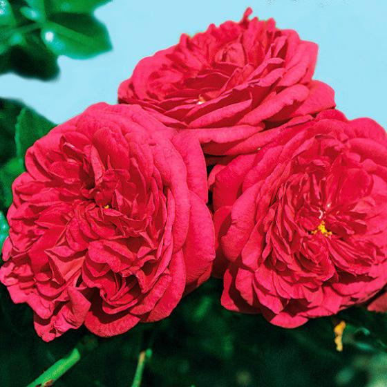 Rose Laguna, XL-Qualität | #2