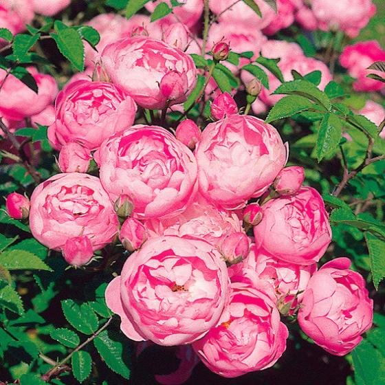 Rose Raubritter, 1 Stück | #2