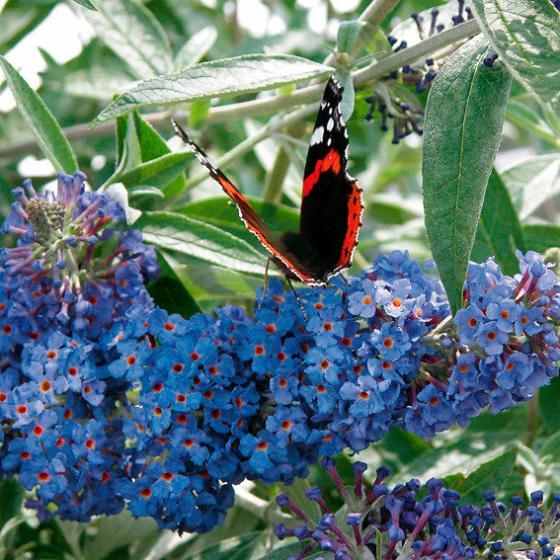 Zwerg-Schmetterlingsflieder Petite Adonis Blue | #2