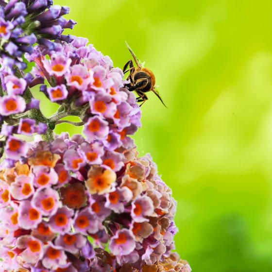 Schmetterlingsflieder Flower Shower | #2