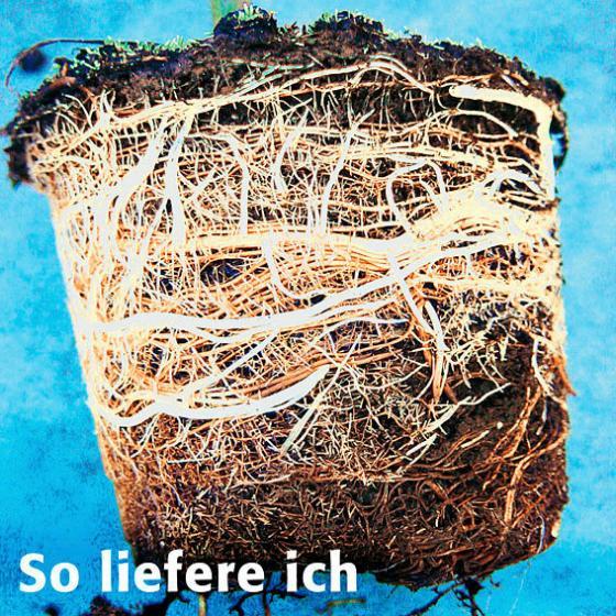 Hainbuche, im Topfballen 6 Stück | #2