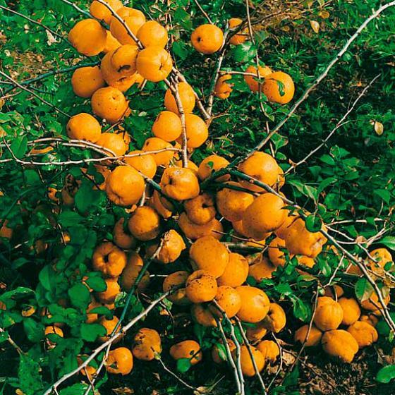 Vitamin-Strauch Cido | #2