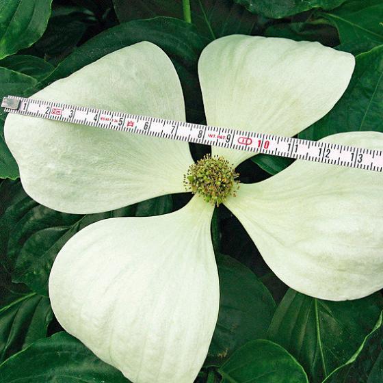 Blumenhartriegel Venus™ | #2