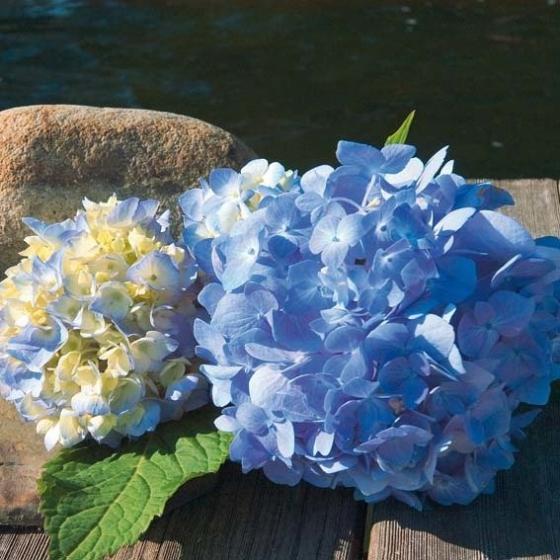 Hortensie Endless Summer® The Original, blau, im ca. 23 cm-Topf | #2