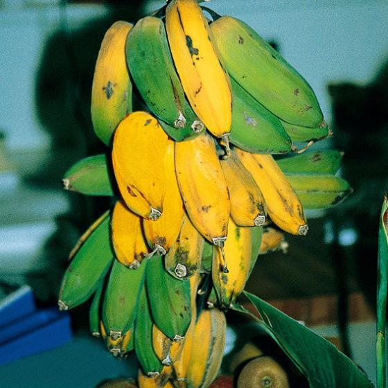 Winterharte Banane | #2