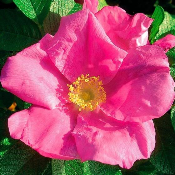 Sylter Rose, im ca. 17 cm-Topf | #2
