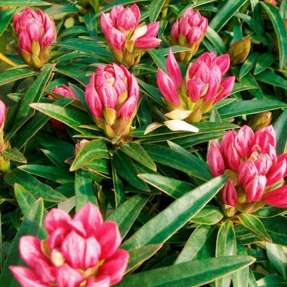 Zwerg-Rhododendron Graziella | #2