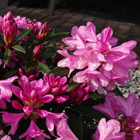 Zwerg-Rhododendron Graziella, im ca. 18 cm-Topf | #2
