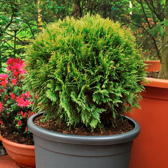 Kugel-Lebensbaum Danica, im ca. 23 cm-Topf | #2