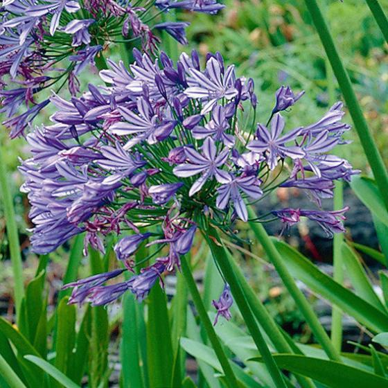 Blaue Schmucklilie | #2