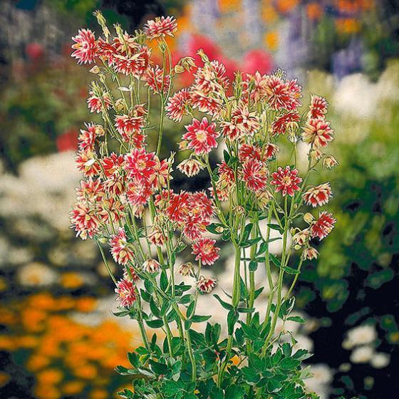 Garten-Akelei Nora Barlow | #2