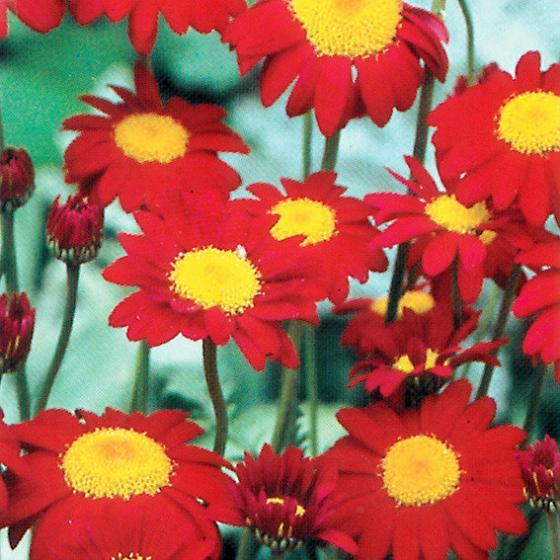 Garten-Margerite Robinsons Red | #2