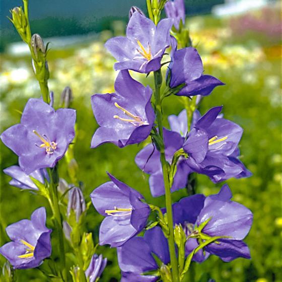Blaue Pfirsichblättrige Glockenblume, im ca. 9 cm-Topf | #2