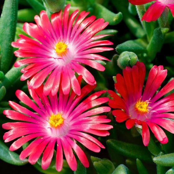 Mittagsblume Pink Ribbon, im ca. 9 cm-Topf | #2