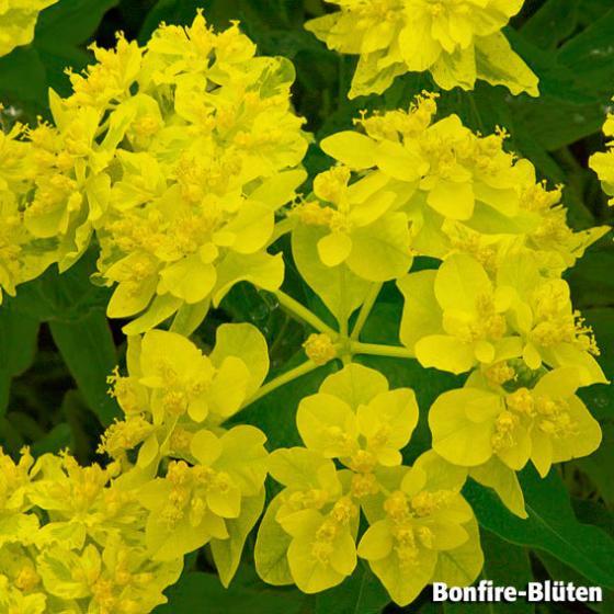 Grünblüte Bonfire, im ca. 9 cm-Topf | #2