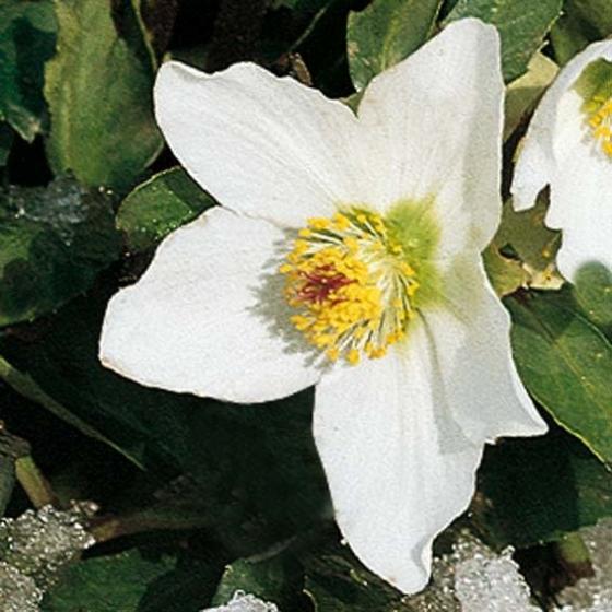 Weiße Christrose | #2