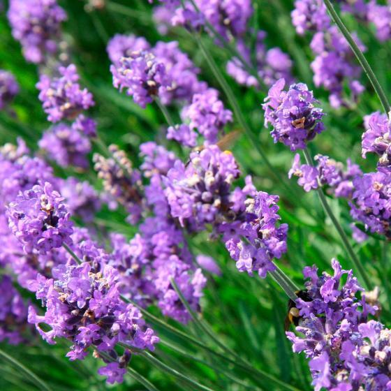 Lavendel 'Der Klassiker', im ca. 9 cm-Topf | #2