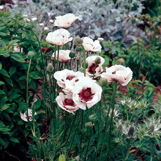 Gartenmohn Perry`s White, im ca. 9 cm-Topf | #2