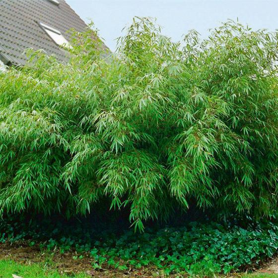 Garten-Bambus Rufa, im ca. 18 cm-Topf | #2