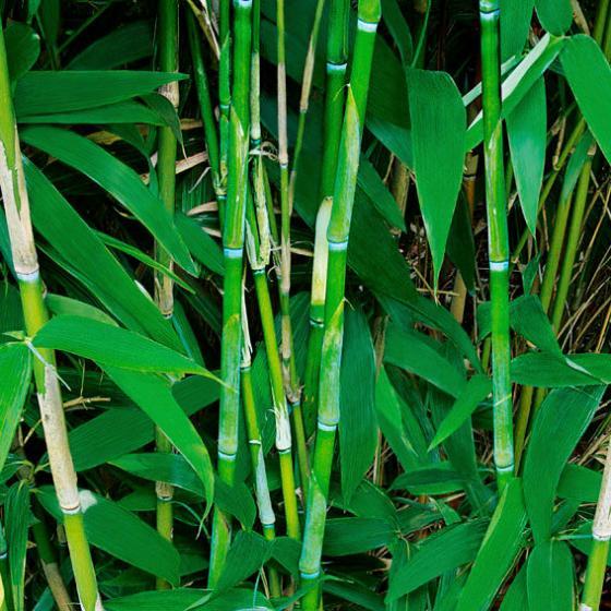 Riesenblatt-Bambus | #2