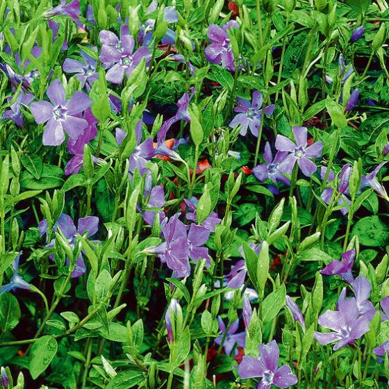 Immergrün, violett-blau, im ca. 9 cm-Topf | #2