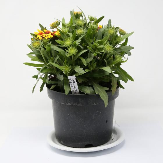 Kokardenblume Kobold, XL-Qualität | #2
