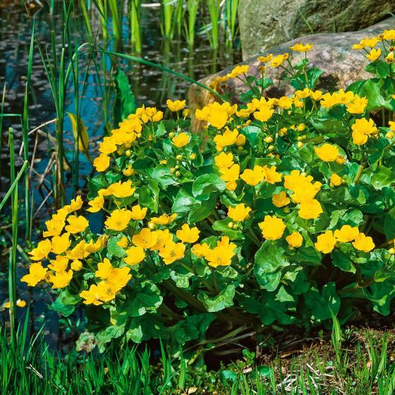 Gelbe Sumpfdotterblume, im ca. 9 cm-Topf | #2