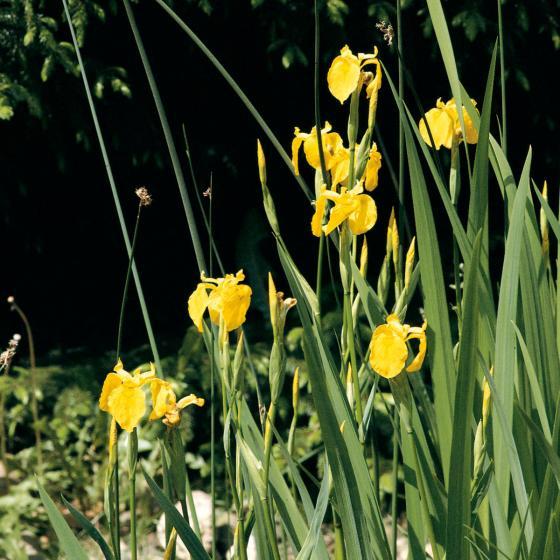 Gelbe Sumpfschwertlilie, im ca. 9 cm-Topf | #2