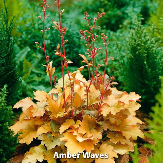 Sortiment Purpurglöckchen, 3 Pflanzen | #2