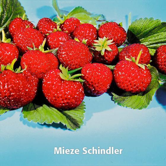 Erdbeerpflanzen-Sortiment Marathon | #2