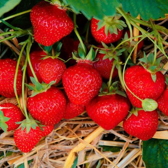 Erdbeerpflanze Jubilee, getopft, im ca. 9 cm-Topf | #2