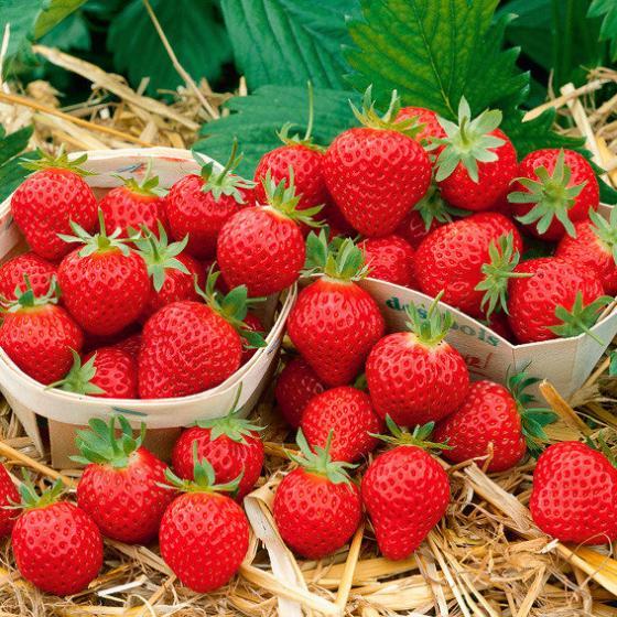 Erdbeere Mara des Bois, im ca. 10 cm-Topf | #2
