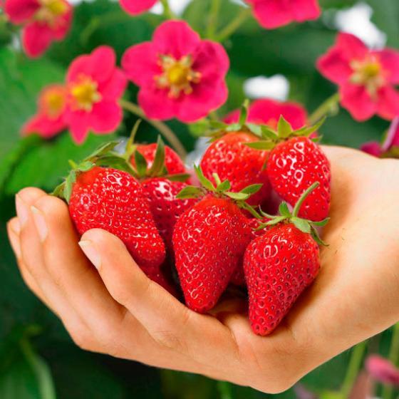 Erdbeerpflanze Kussmund-Erdbeere Toscana®, getopft | #2