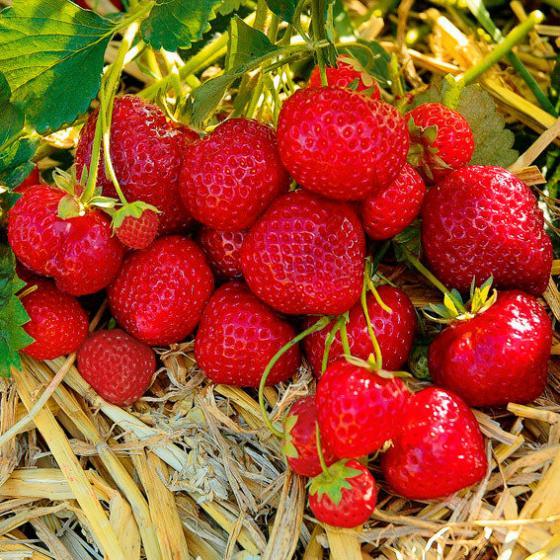 Erdbeere Sengana® Selection 12er-Set, im ca. 7 cm-Topf | #2