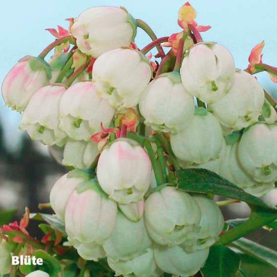 Kultur-Heidelbeere Bluecrop | #2