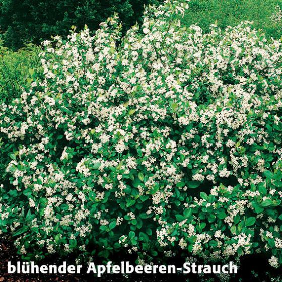 Gärtner Pötschkes Apfelbeere Nero | #2