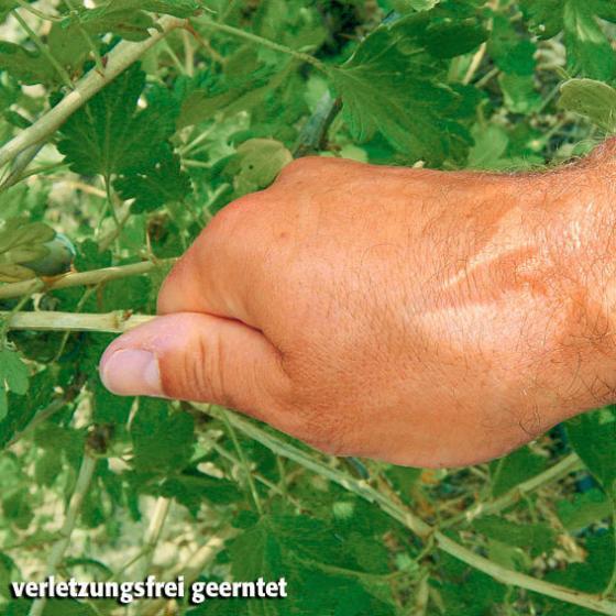 Stachelbeere Larell, im ca. 19 cm-Topf, Busch | #2