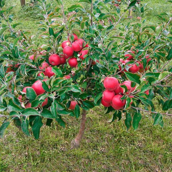 Zwerg-Apfel Croquella | #2
