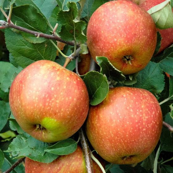 Premium Apfel Roter Boskoop | #2