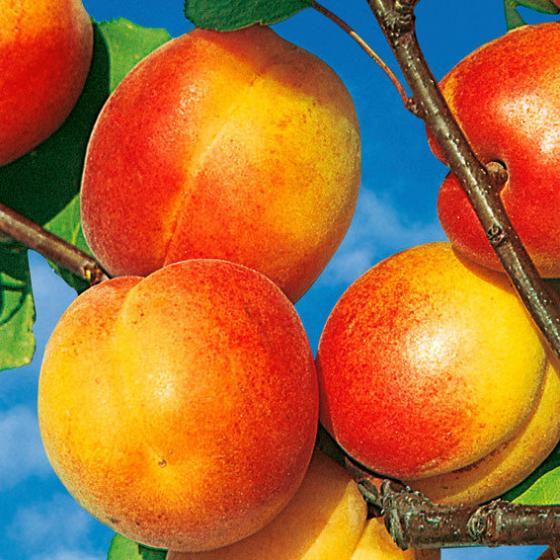 Säulen-Aprikose Clarina | #2