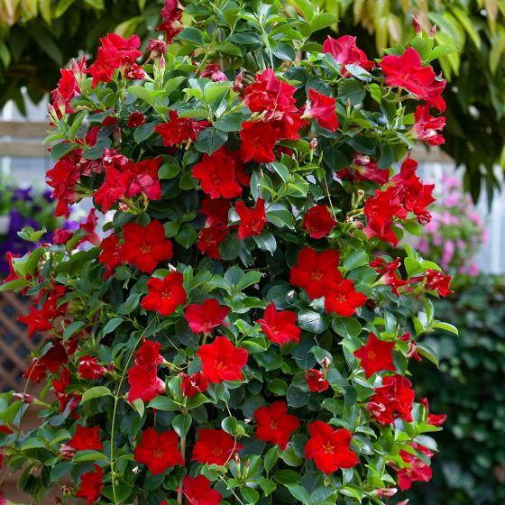 Rote Dipladenia, im ca. 12 cm-Topf | #2