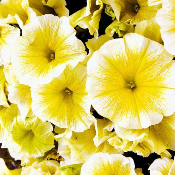 Petunie Viva® Yellow | #2