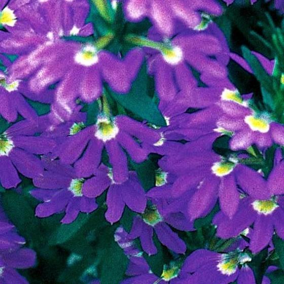 Blaue Fächerblume | #2