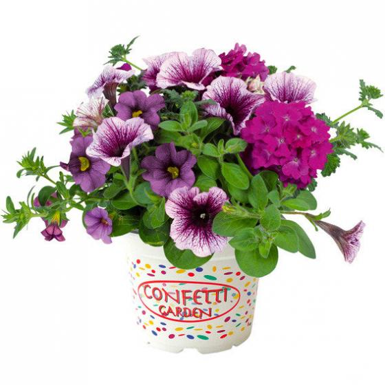 Confetti Garden™ Purple Cleopatra | #2