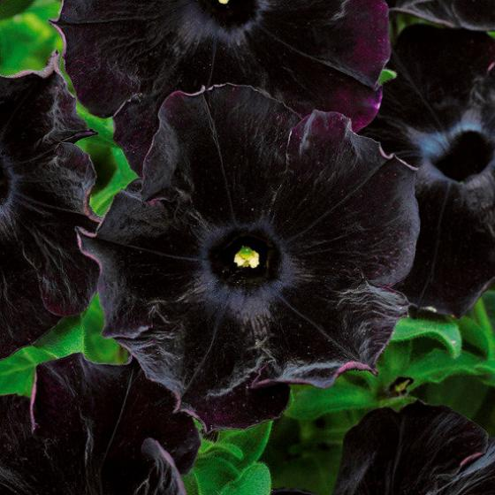 Panther-Petunie Black Velvet | #2